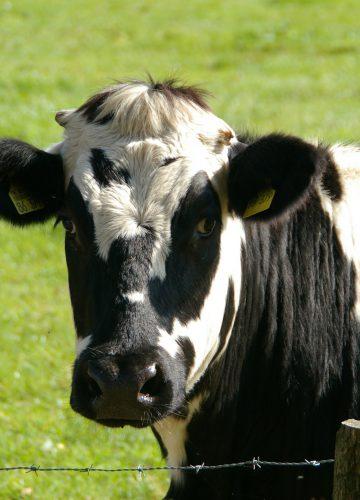 cow-234835_1920[1]